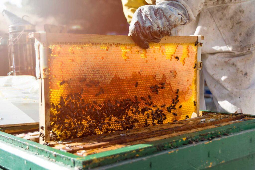 Propóleo abejas